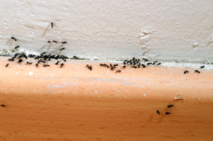 birmingham ant control , ants in the house birmingham , ant spray birmingham , ants uk